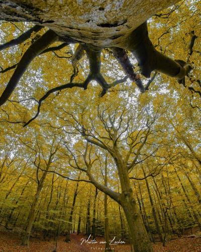 Gele-bomen